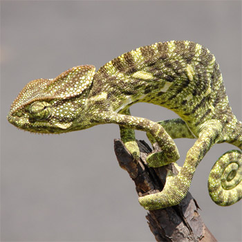 image of a chameleon on a branch